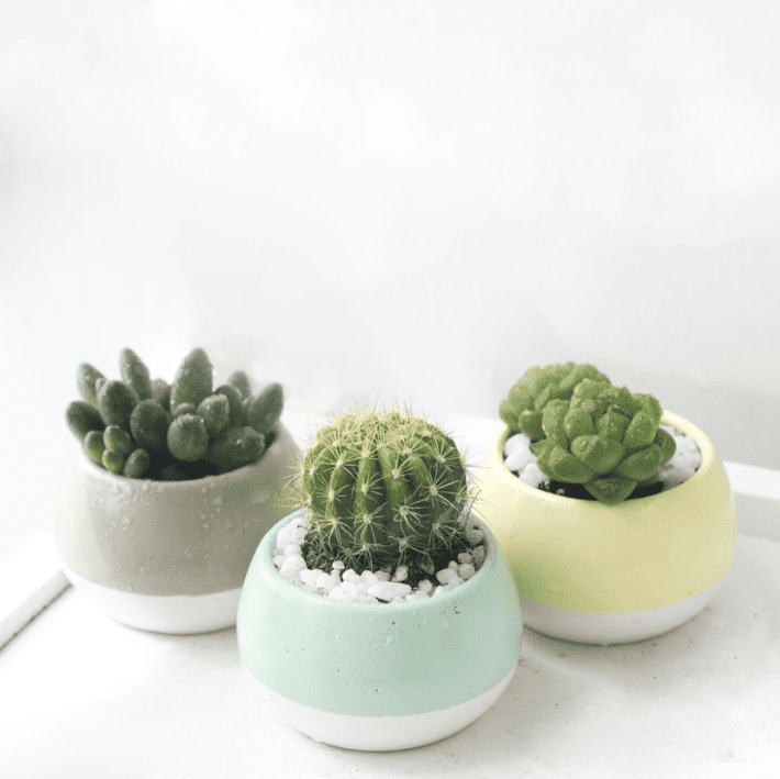 showing 3 succulents in a pot